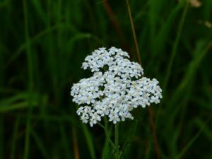 Achillea Blüte