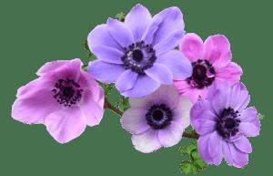 Anemonen Blüten