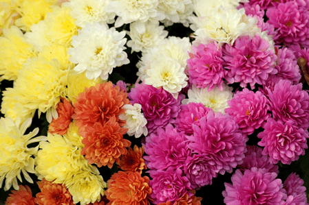 Chrysantheme