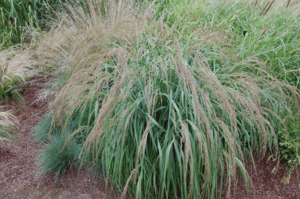 Panicum Rutenhirse