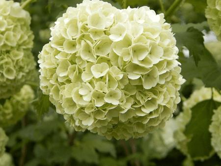 Schneeball Viburnum