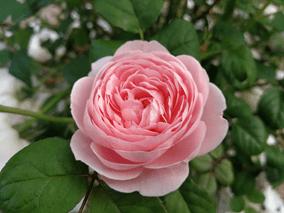 Die Vielfalt der Rose