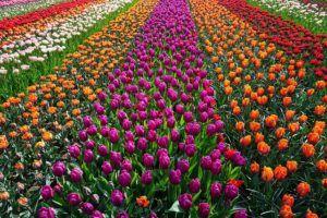 Vom Feld bis in die Vase – die Herkunft unserer beliebtesten Schnittblumen