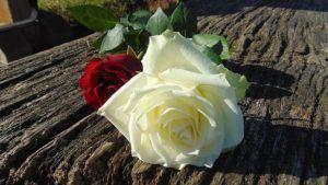 Weiße und rote Rose